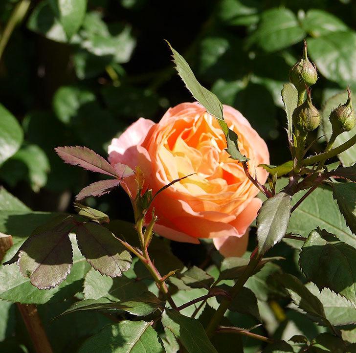 レディ・エマ・ハミルトン(木立バラ)の花が増えてきた。2017年-5.jpg