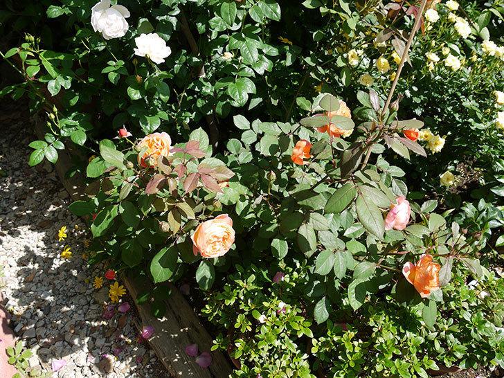 レディ・エマ・ハミルトン(木立バラ)の花が増えてきた。2017年-6.jpg