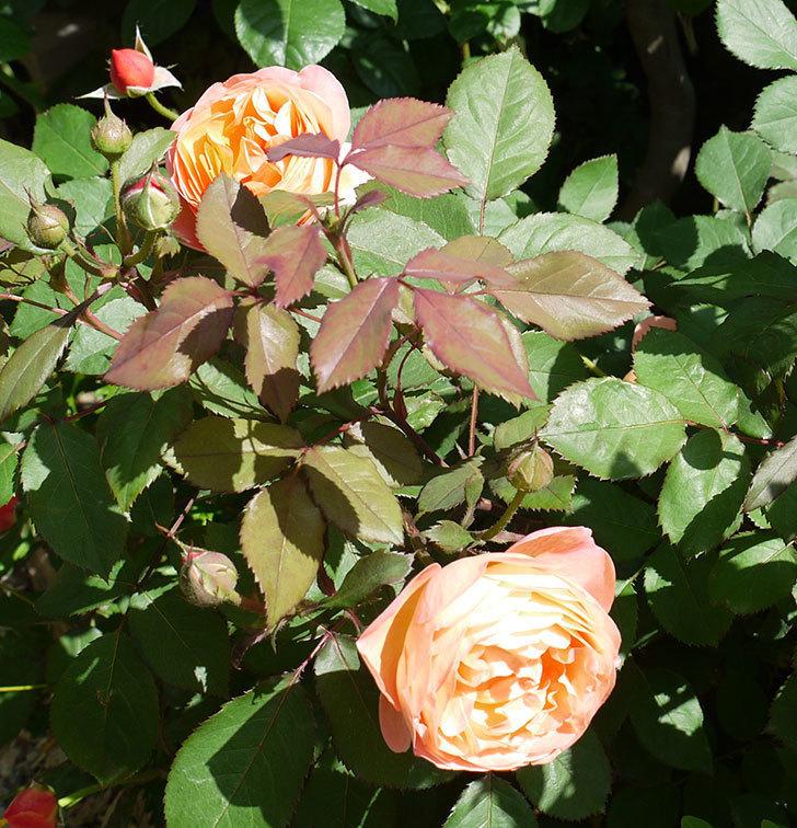 レディ・エマ・ハミルトン(木立バラ)の花が増えてきた。2017年-7.jpg