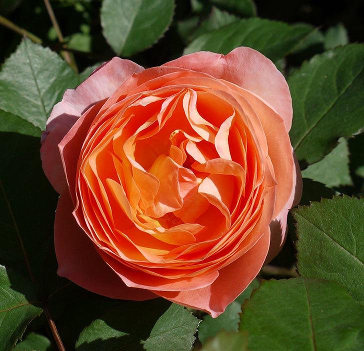 レディ・エマ・ハミルトン(木立バラ)の花が増えてきた。2017年-8.jpg