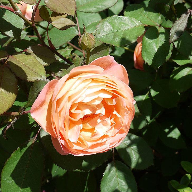 レディ・エマ・ハミルトン(木立バラ)の花が増えてきた。2017年-9.jpg