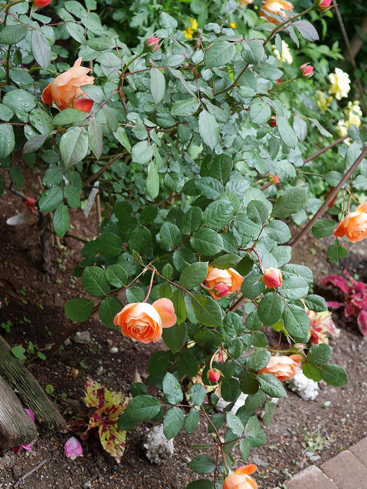 レディ・エマ・ハミルトン(木立バラ)の花が増えてきた。2018年-10.jpg