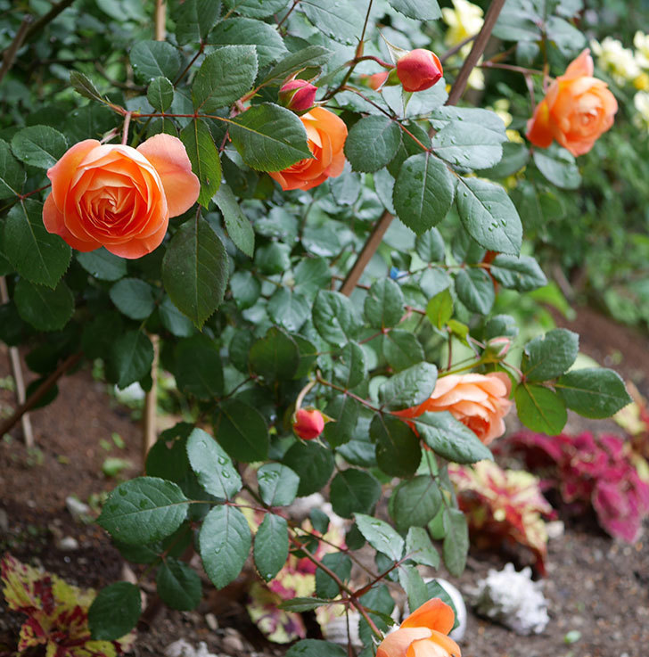 レディ・エマ・ハミルトン(木立バラ)の花が増えてきた。2018年-11.jpg
