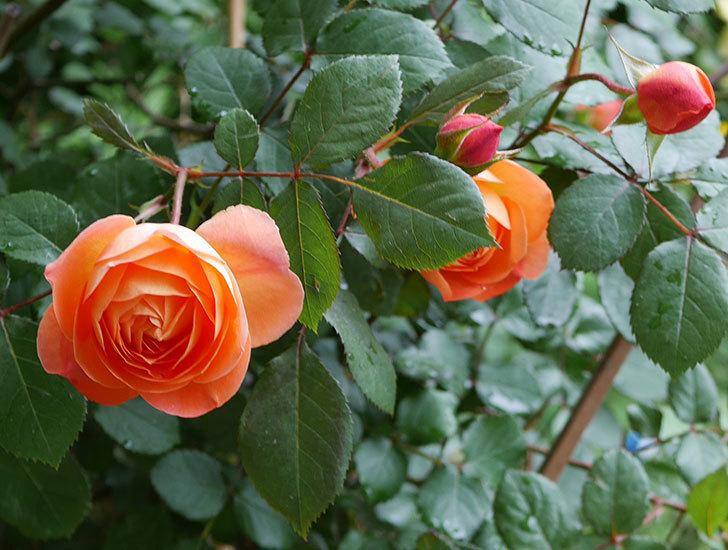 レディ・エマ・ハミルトン(木立バラ)の花が増えてきた。2018年-12.jpg