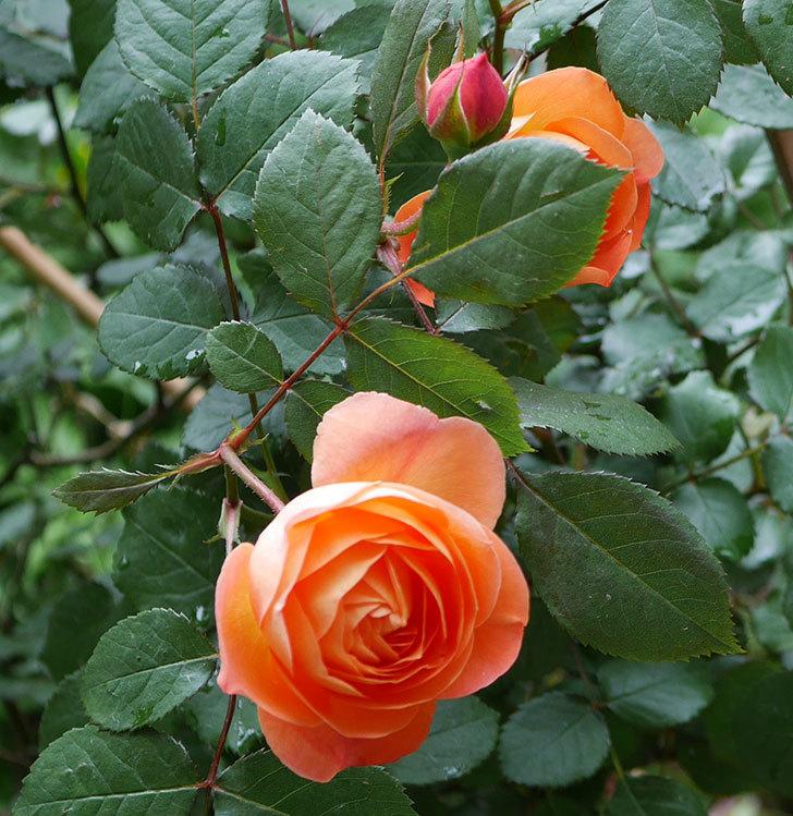 レディ・エマ・ハミルトン(木立バラ)の花が増えてきた。2018年-13.jpg