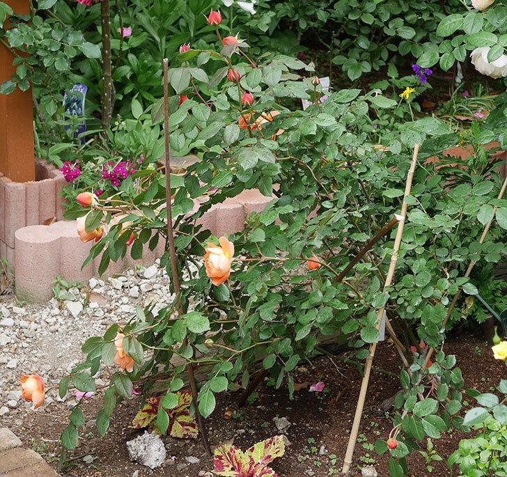レディ・エマ・ハミルトン(木立バラ)の花が増えてきた。2018年-14.jpg