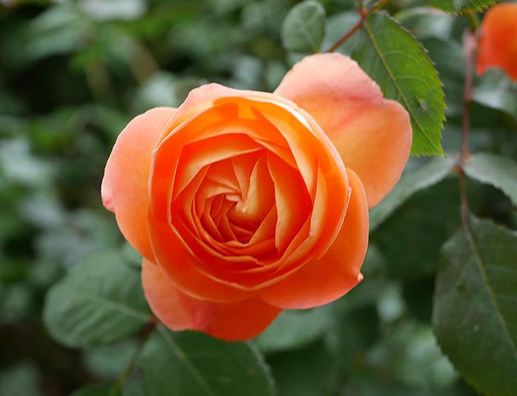 レディ・エマ・ハミルトン(木立バラ)の花が増えてきた。2018年-2.jpg