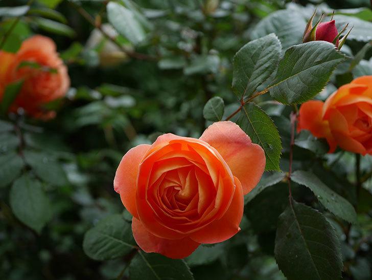 レディ・エマ・ハミルトン(木立バラ)の花が増えてきた。2018年-3.jpg