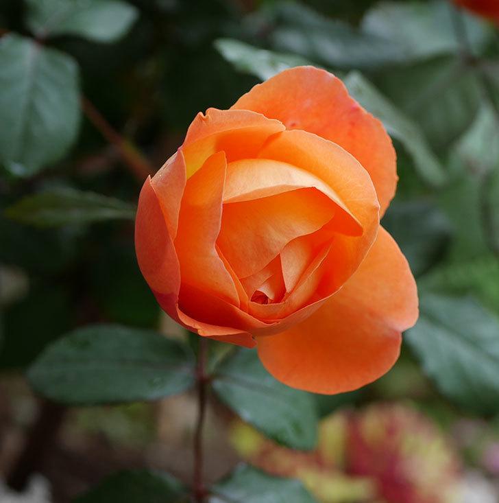 レディ・エマ・ハミルトン(木立バラ)の花が増えてきた。2018年-5.jpg