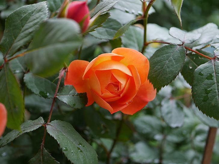 レディ・エマ・ハミルトン(木立バラ)の花が増えてきた。2018年-7.jpg