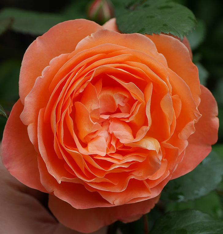レディ・エマ・ハミルトン(木立バラ)の花が増えてきた。2018年-8.jpg