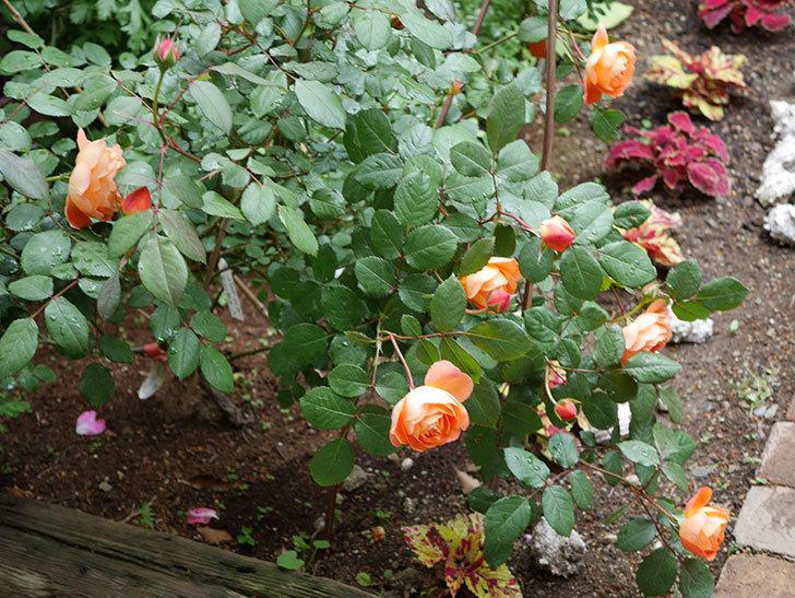 レディ・エマ・ハミルトン(木立バラ)の花が増えてきた。2018年-9.jpg