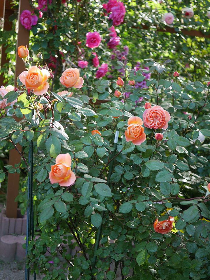 レディ・エマ・ハミルトン(木立バラ)の花が増えてきた。2020年-1.jpg