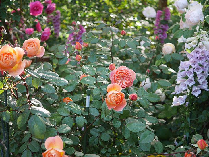 レディ・エマ・ハミルトン(木立バラ)の花が増えてきた。2020年-10.jpg