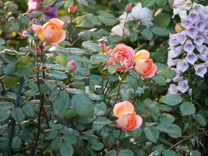 レディ・エマ・ハミルトン(木立バラ)の花が増えてきた。2020年-11.jpg