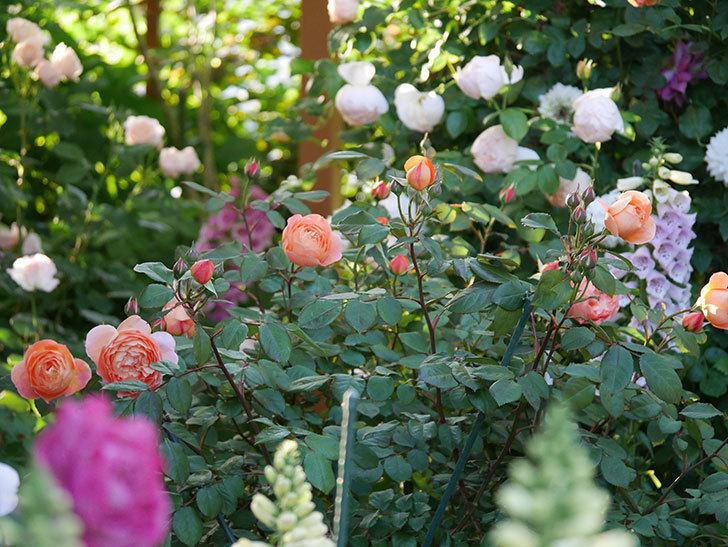 レディ・エマ・ハミルトン(木立バラ)の花が増えてきた。2020年-12.jpg