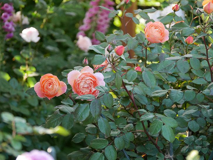 レディ・エマ・ハミルトン(木立バラ)の花が増えてきた。2020年-13.jpg