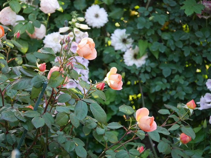 レディ・エマ・ハミルトン(木立バラ)の花が増えてきた。2020年-14.jpg
