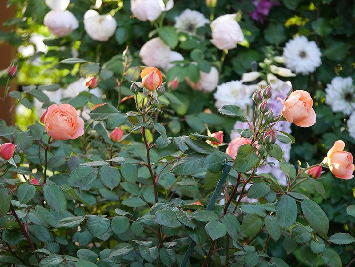 レディ・エマ・ハミルトン(木立バラ)の花が増えてきた。2020年-16.jpg