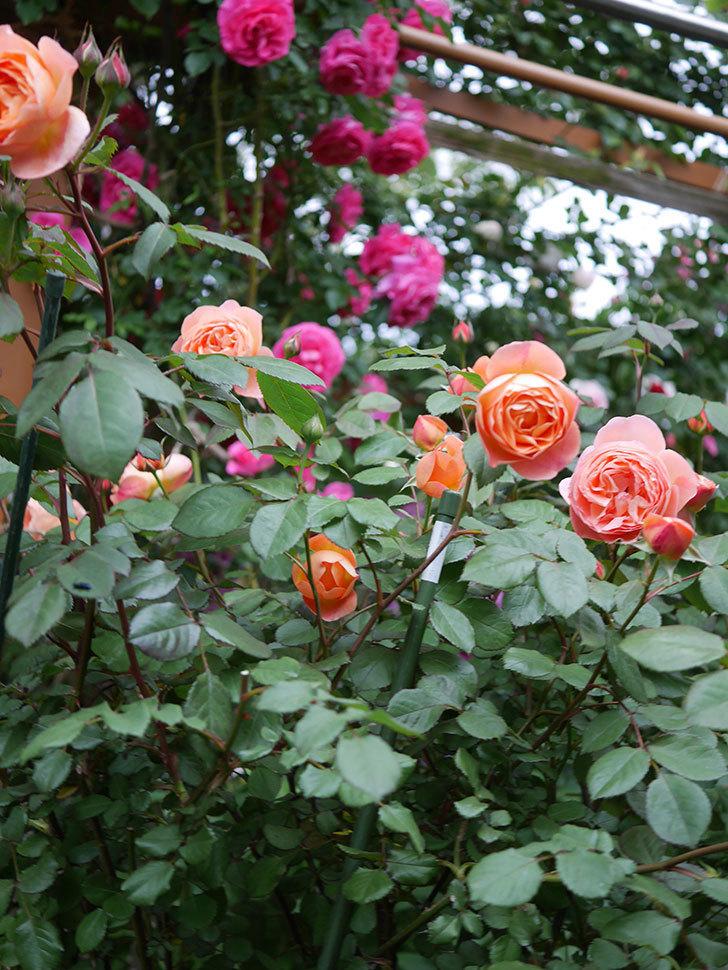 レディ・エマ・ハミルトン(木立バラ)の花が増えてきた。2020年-17.jpg