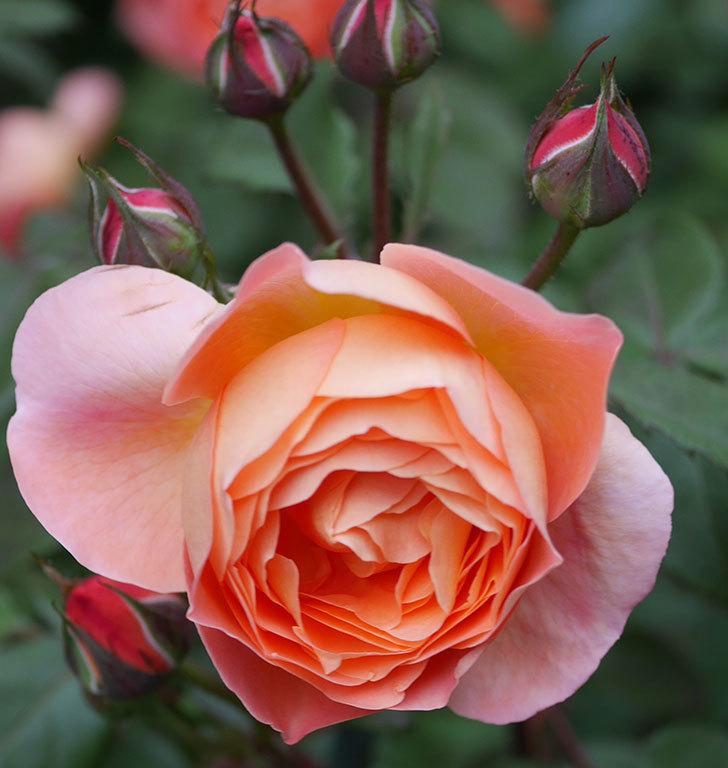 レディ・エマ・ハミルトン(木立バラ)の花が増えてきた。2020年-18.jpg