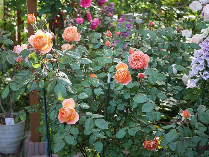 レディ・エマ・ハミルトン(木立バラ)の花が増えてきた。2020年-2.jpg