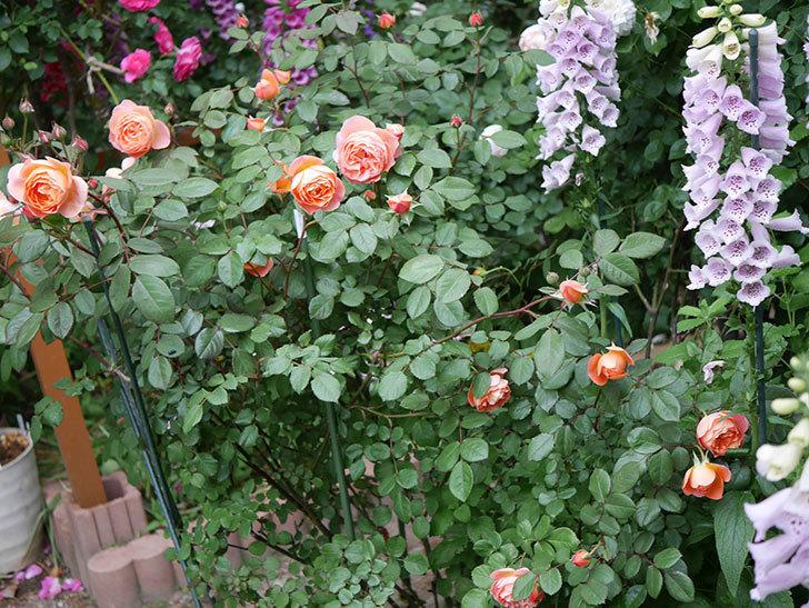 レディ・エマ・ハミルトン(木立バラ)の花が増えてきた。2020年-20.jpg