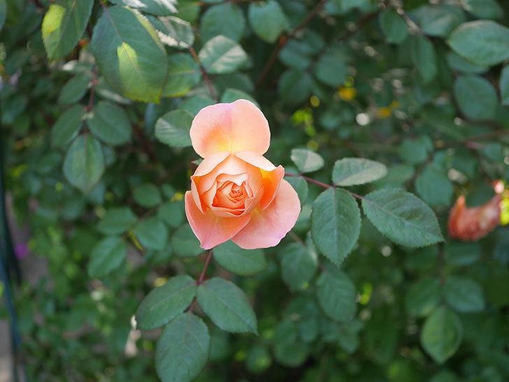 レディ・エマ・ハミルトン(木立バラ)の花が増えてきた。2020年-3.jpg