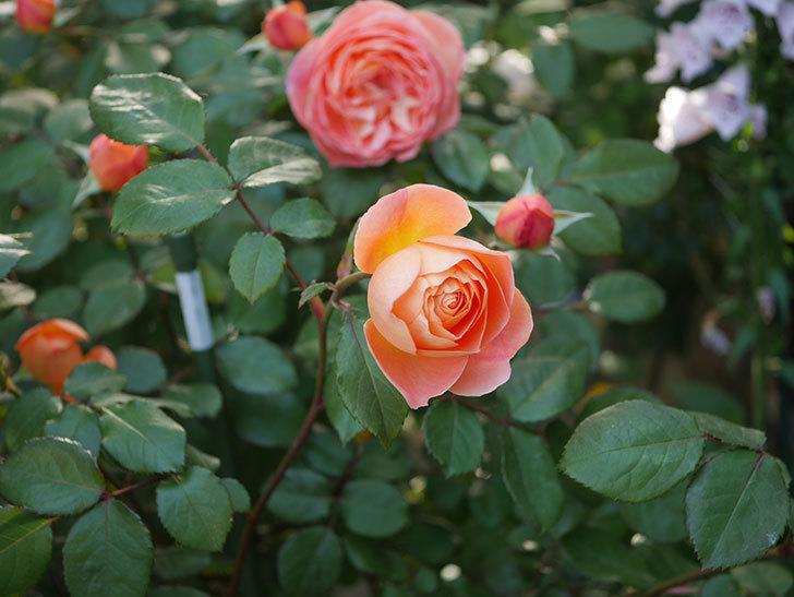 レディ・エマ・ハミルトン(木立バラ)の花が増えてきた。2020年-4.jpg