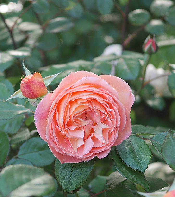 レディ・エマ・ハミルトン(木立バラ)の花が増えてきた。2020年-5.jpg