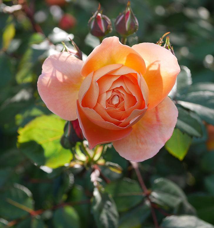 レディ・エマ・ハミルトン(木立バラ)の花が増えてきた。2020年-6.jpg