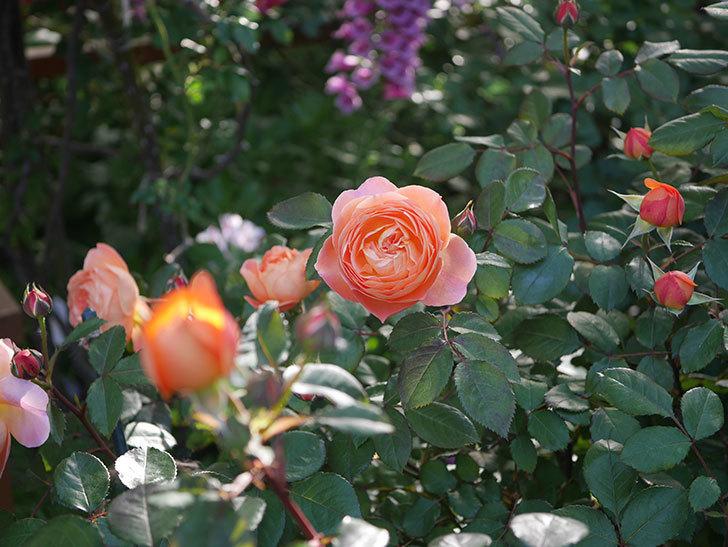 レディ・エマ・ハミルトン(木立バラ)の花が増えてきた。2020年-7.jpg