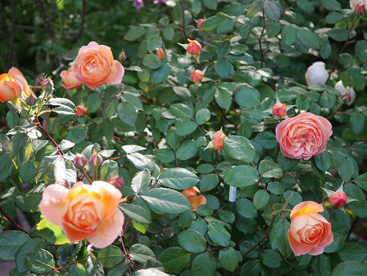 レディ・エマ・ハミルトン(木立バラ)の花が増えてきた。2020年-8.jpg