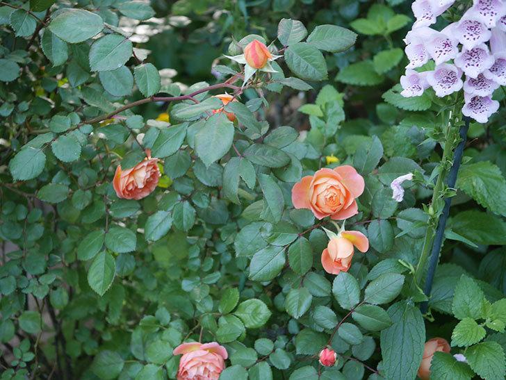レディ・エマ・ハミルトン(木立バラ)の花が増えてきた。2020年-9.jpg