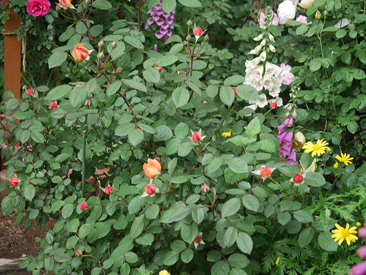 レディ・エマ・ハミルトン(木立バラ)の花が少し咲いた。2019年-10.jpg