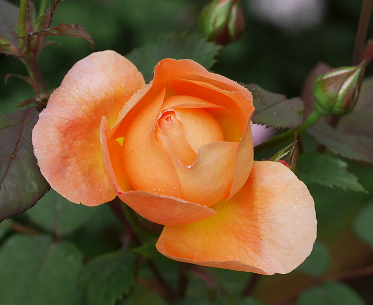 レディ・エマ・ハミルトン(木立バラ)の花が少し咲いた。2019年-11.jpg