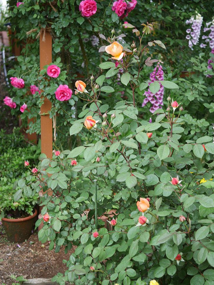 レディ・エマ・ハミルトン(木立バラ)の花が少し咲いた。2019年-13.jpg