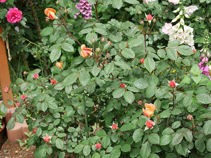レディ・エマ・ハミルトン(木立バラ)の花が少し咲いた。2019年-14.jpg