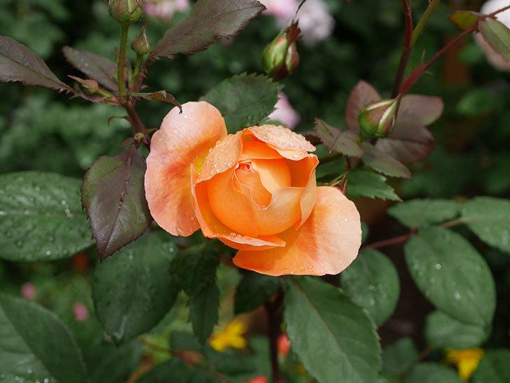 レディ・エマ・ハミルトン(木立バラ)の花が少し咲いた。2019年-15.jpg