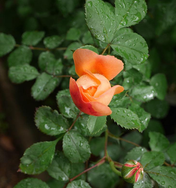レディ・エマ・ハミルトン(木立バラ)の花が少し咲いた。2019年-16.jpg
