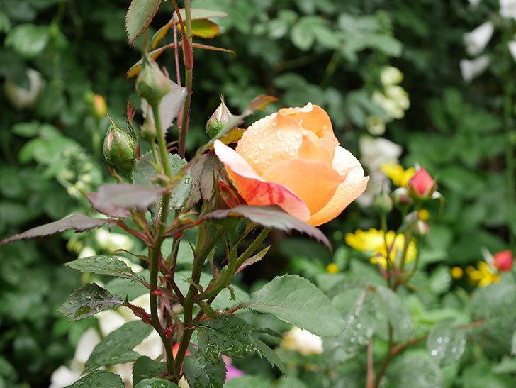 レディ・エマ・ハミルトン(木立バラ)の花が少し咲いた。2019年-18.jpg