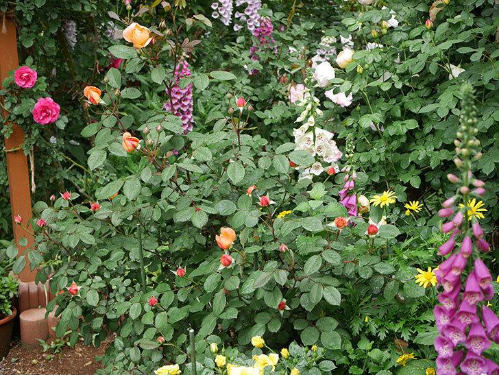 レディ・エマ・ハミルトン(木立バラ)の花が少し咲いた。2019年-19.jpg