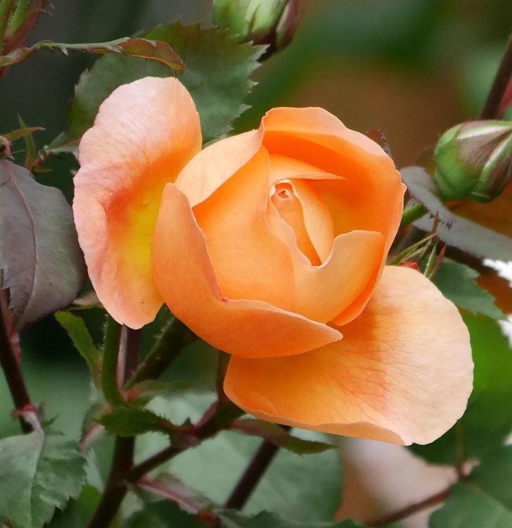 レディ・エマ・ハミルトン(木立バラ)の花が少し咲いた。2019年-2.jpg