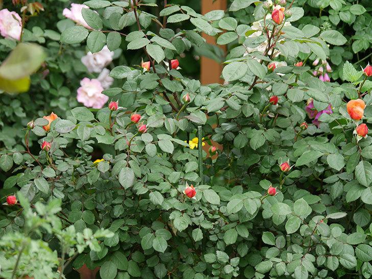 レディ・エマ・ハミルトン(木立バラ)の花が少し咲いた。2019年-3.jpg