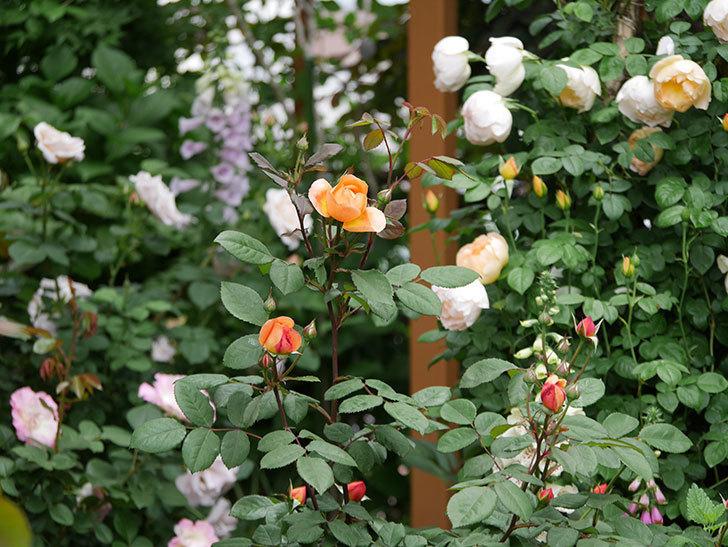 レディ・エマ・ハミルトン(木立バラ)の花が少し咲いた。2019年-4.jpg