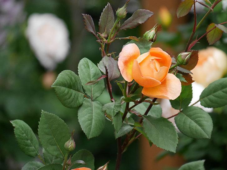 レディ・エマ・ハミルトン(木立バラ)の花が少し咲いた。2019年-5.jpg