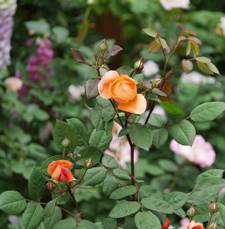 レディ・エマ・ハミルトン(木立バラ)の花が少し咲いた。2019年-8.jpg