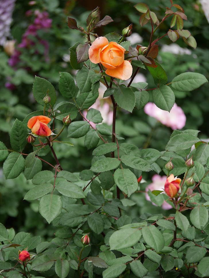 レディ・エマ・ハミルトン(木立バラ)の花が少し咲いた。2019年-9.jpg