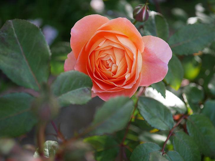 レディ・エマ・ハミルトン(木立バラ)の花が本格的に咲きだした。2020年-3.jpg