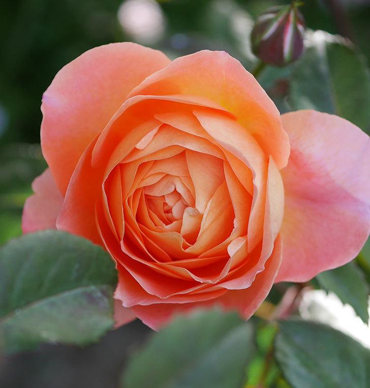 レディ・エマ・ハミルトン(木立バラ)の花が本格的に咲きだした。2020年-4.jpg